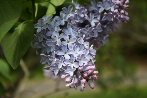 Lilac Love: A Guide to Spring's Best-Loved Flowering Shrub