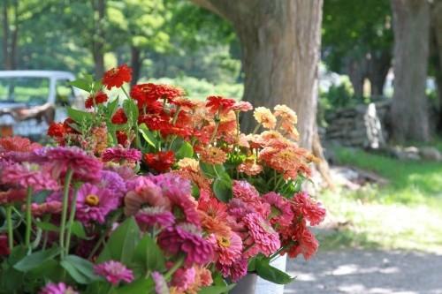 Gardening 101: Zinnias