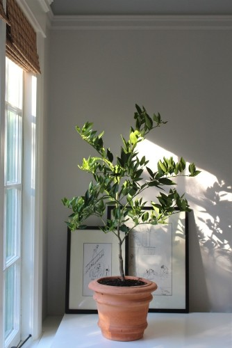 Winter is Coming: How to Keep an Indoor Citrus Tree Happy