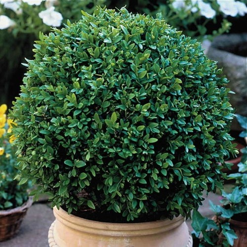 Boxwood: 8 Ways to Use Evergreens to Create Curb Appeal