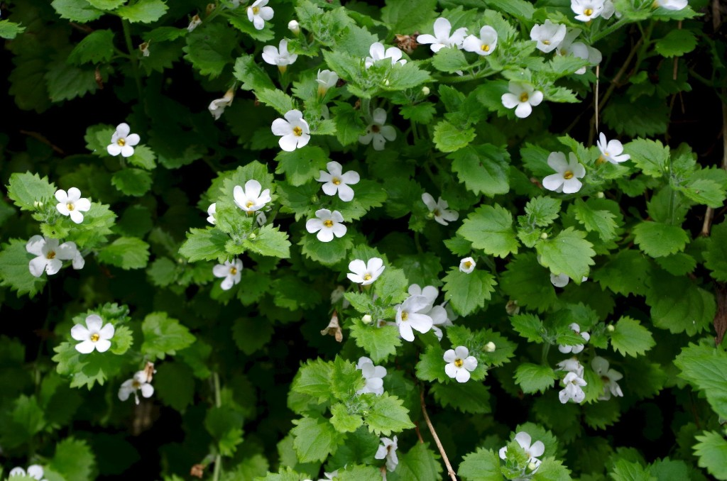 How to Successfully Grow Bacopa: A Field Guide to Planting, Care, and Design on Gardenista