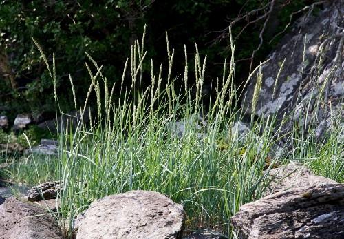 Gardening 101: Lyme Grass
