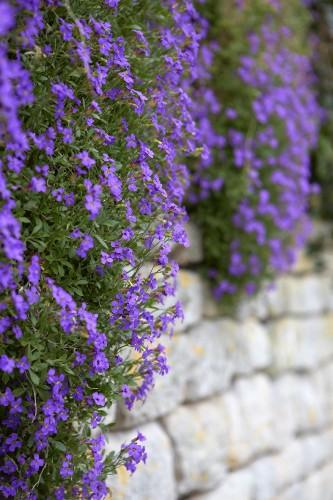 Gardening 101: Aubretia