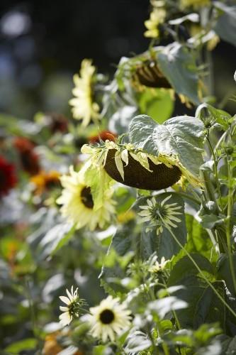 Field Guide: Sunflowers