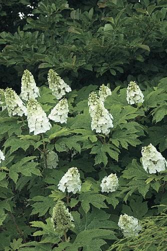 A Master Class in Pruning Hydrangeas from White Flower Farm