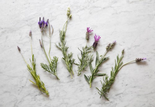 Everything You Need to Know About Lavender (Plus 5 Kinds to Grow)