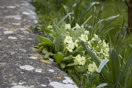 Gardening 101: Primroses