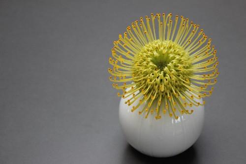 Gardening 101: Pincushion Protea