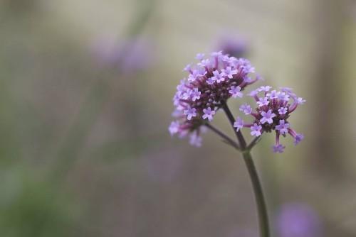 Gardening 101: Verbena