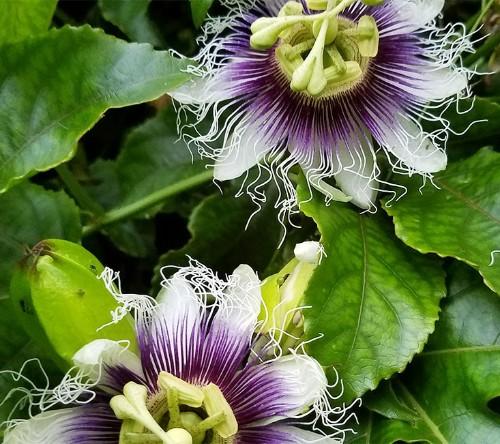 Gardening 101: Passionflower