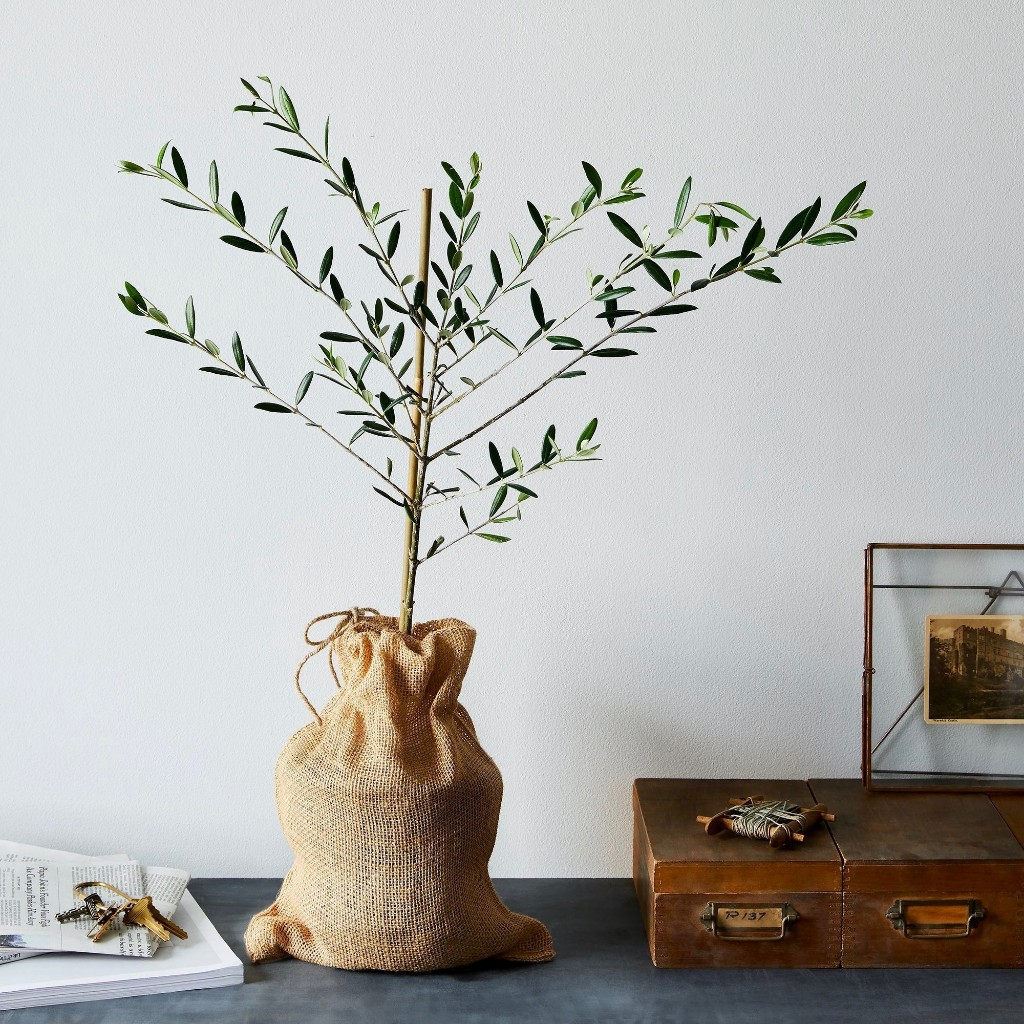 Olive Garden: A Houseplant That Can Live for Centuries