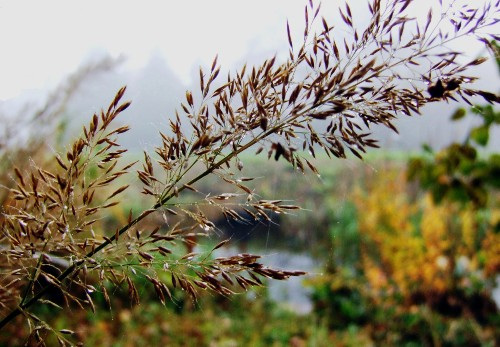Gardening 101: Feather Reed Grass