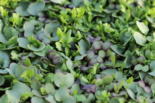 Ask the Expert: 9 Tips to Grow Edible Microgreens