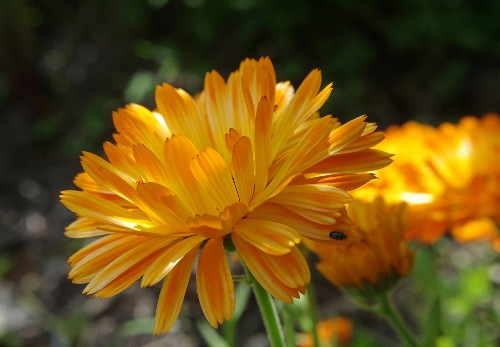 Gardening 101: Calendula