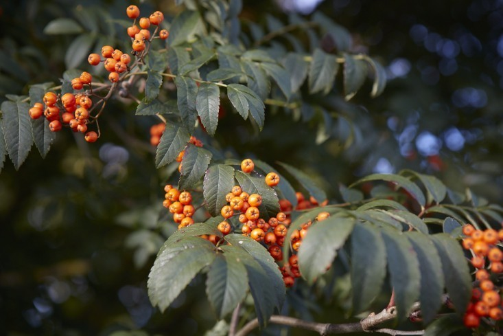 Gardening 101: Sorbus - Gardenista
