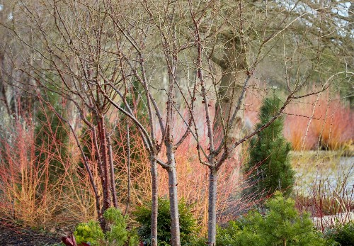 Landscape Ideas: Blazing Color with Red Twig Dogwood, 5 Ways