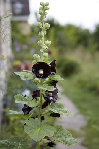 Gardening 101: Hollyhocks