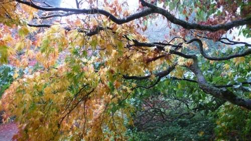 Gardening 101: Japanese Maple Trees