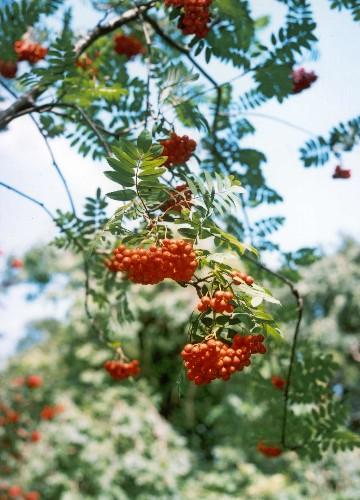An English Gardener's Diary: I Do Love My Rowan