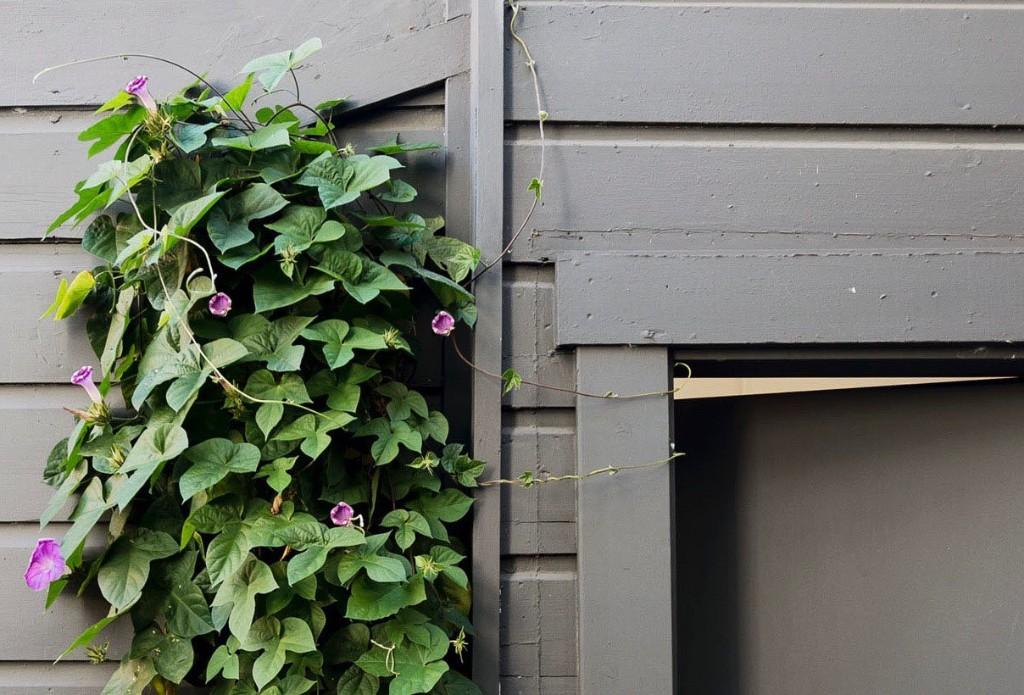 Gardening 101: Morning Glory - Gardenista