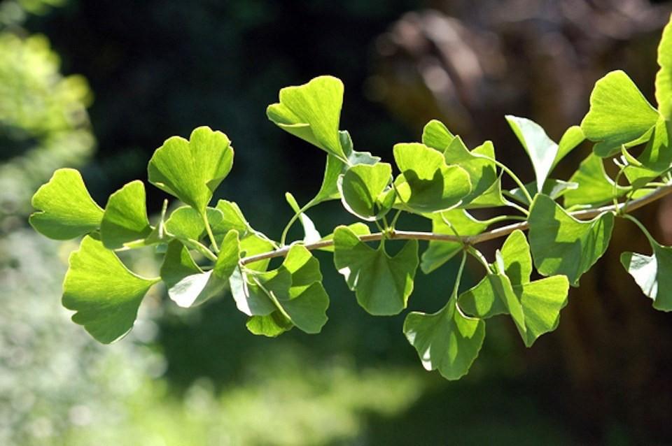 Gardening 101: Ginkgo Trees