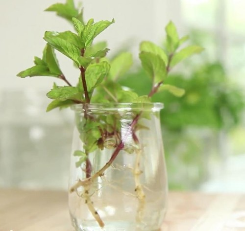 Video: Clone Herbs in Your Kitchen