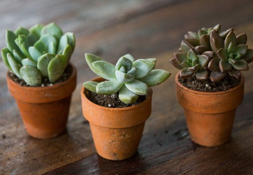 Succulents Explained: How to Identify and Grow Graptos