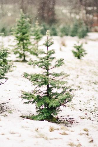 Shopper's Diary: A Christmas Tree Farm in Maine