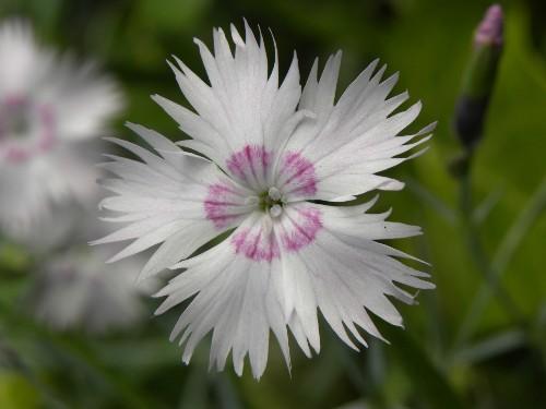 Gardening 101: Dianthus