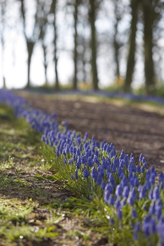 Gardening 101: Grape Hyacinth