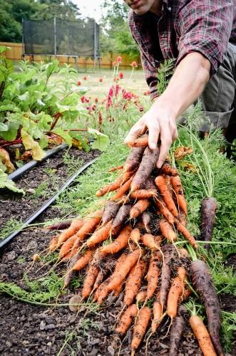Field Guide: Carrots