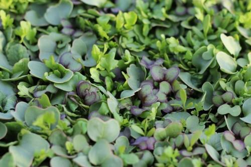 Ask the Expert: 9 Tips to Grow Edible Microgreens