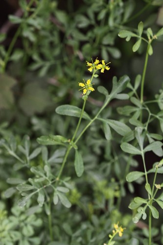 Gardening 101: Rue, Herb of Grace