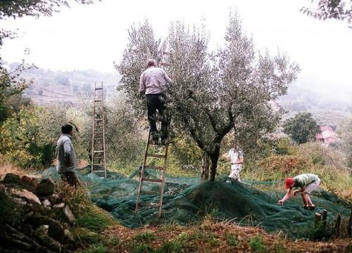 Gardening 101: Olive Tree - Gardenista