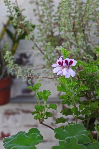 Scents and Sensibility: The Scented Geranium is Spring's Must-Have Plant