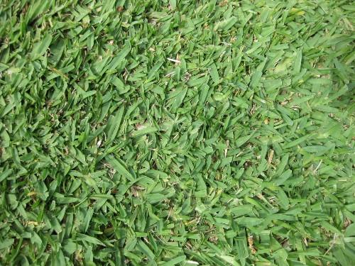 Gardening 101: St. Augustine Grass