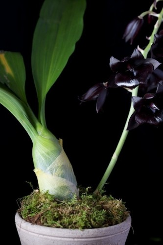 In Search of a Scent: The Black Orchid
