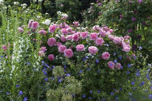 English Gardens: David Austin Roses in Shropshire