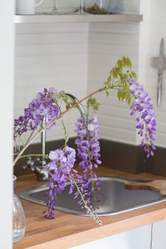 Mysterious Wisteria: An Irresistible Flower Goes from Vine to Vase