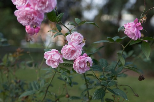 Everything You Need to Know About Roses - Gardenista