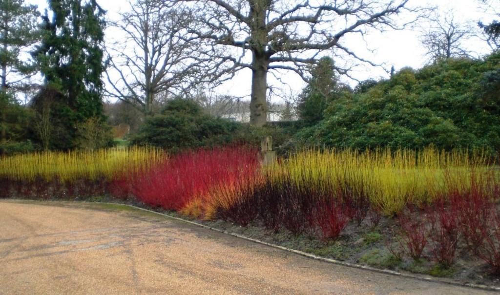 Gardening 101: Red Twig Dogwood - Gardenista