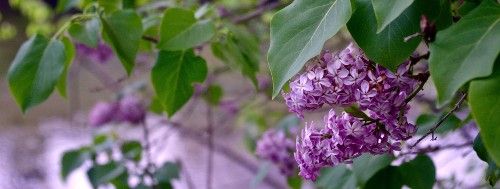 How to Successfully Grow Lilacs: A Field Guide to Growing, Care, and Design on Gardenista