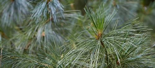 Gardening 101: Pine Trees