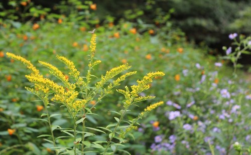 Goldenrods: Fireworks in the Fall