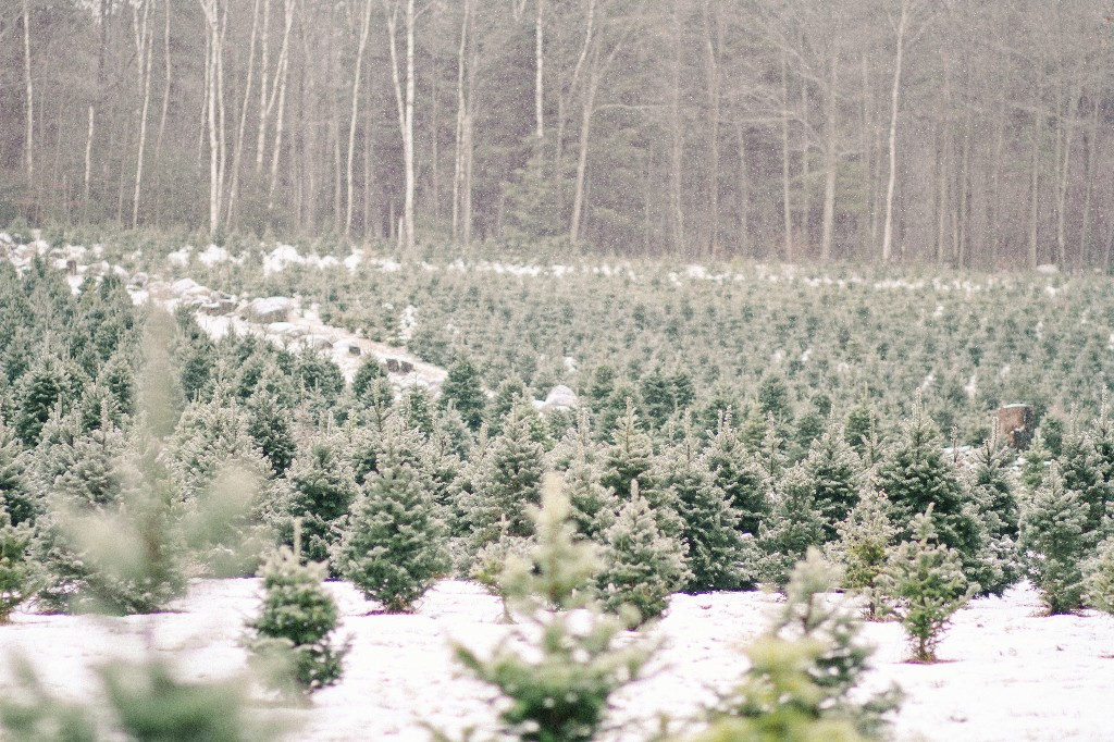 10 Things to Know Before You Go to the Christmas Tree Farm - Gardenista