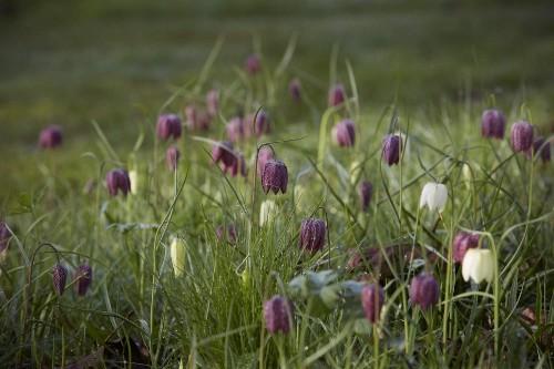 Gardening 101: Fritillaria