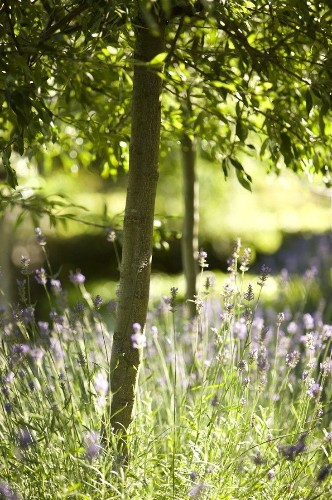 Garden Designer Visit: Lavender Fields in Australia