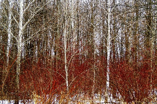 Gardening 101: Red Twig Dogwood