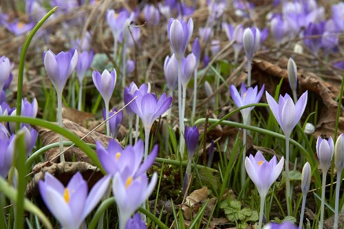 The Garden Decoder: What Does It Mean to 'Naturalize' Bulbs?