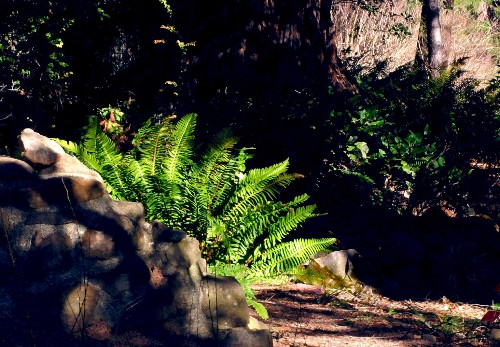 Gardening 101: Western Sword Ferns